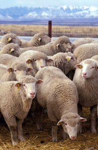 Do adverts undermine your messages and make your visitors into sheep